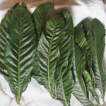 びわの 生葉           サイズ 中  約150g