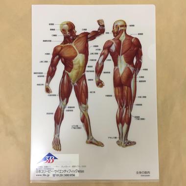 A4クリアファイル 全身の筋肉