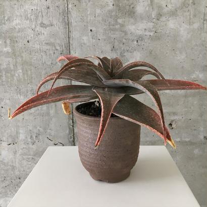 Aloe   SP