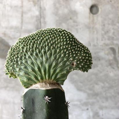 Strombocactus disciformis f. crist.
