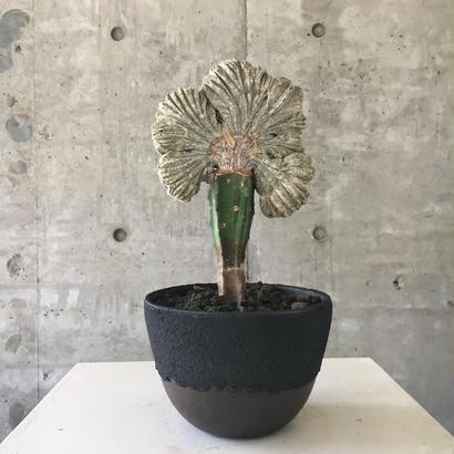 Astrophytum myriostigma 'ONZUKA'  f.crist.