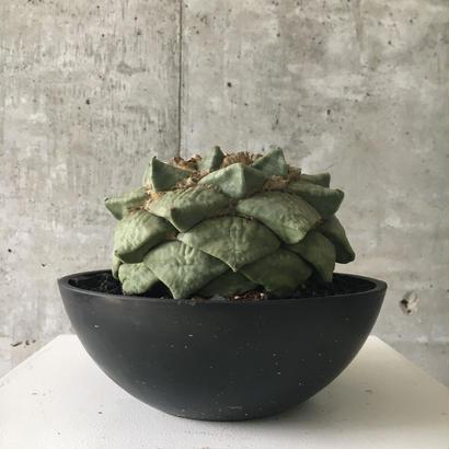 Ariocarpus furfuraceus 'brebituberosus'