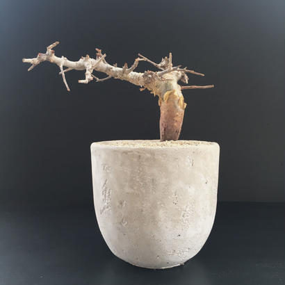 Commiphora foliacea