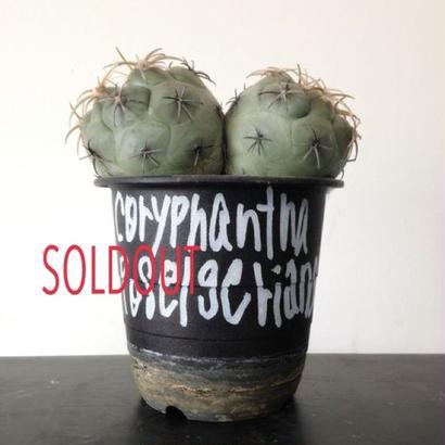 Coryphantha poselgeriana