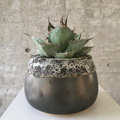 Agave titanota (wide Form)