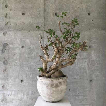 Commiphora Wightii