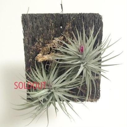 """Tillandsia aeranthas """"mini purple"""""""