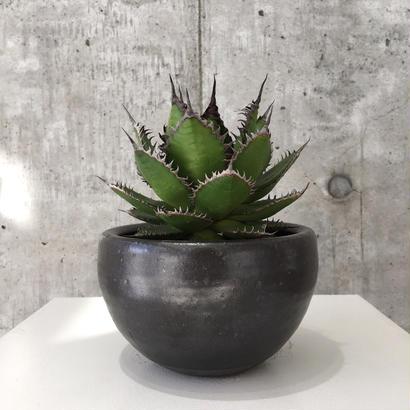 Agave horrida ssp