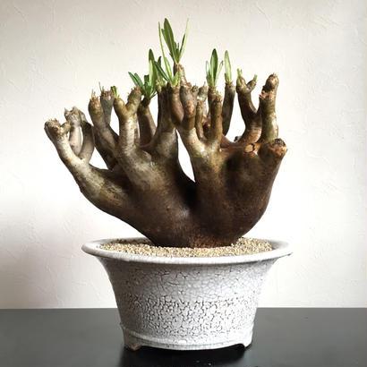 Pachypodium inopinatum