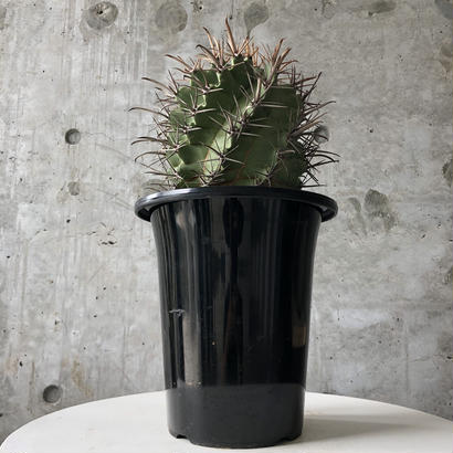 hybrid cactus (晃山×巨鷲玉)