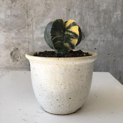 Astrophytum myriostigma v.nudam varieg.