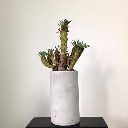 Euphorbia HYB