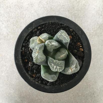 Haworthia  万象  花菱