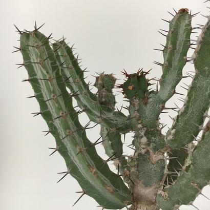 Euphorbia debilispina