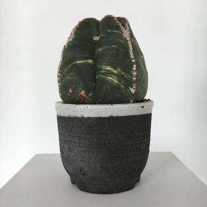 Astrophytum myriostigma v. nudum varieg.
