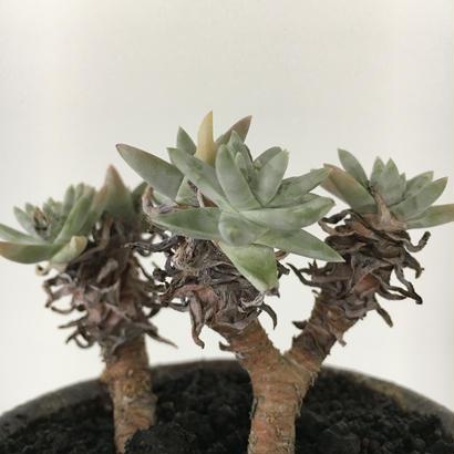 Dudleya greenii