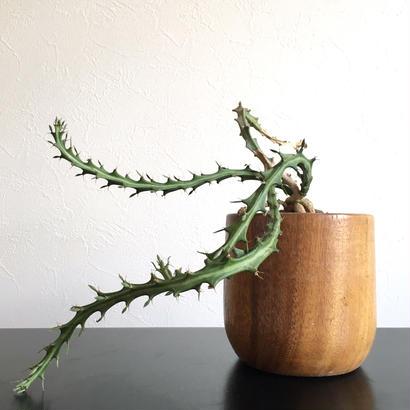 Euphorbia knunthii