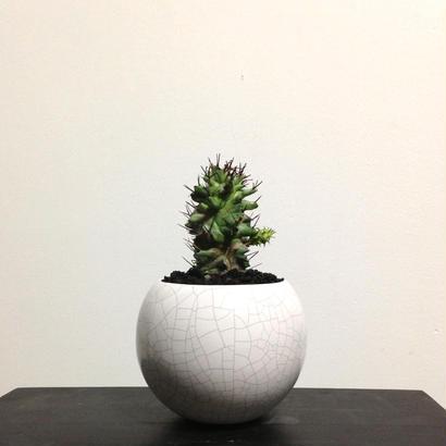 Euphorbia horrida f. monst