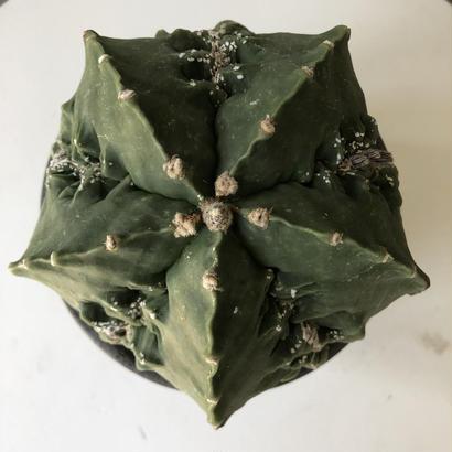Astrophytum myriostigma v.nudam