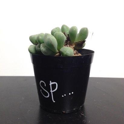 conophytum SP