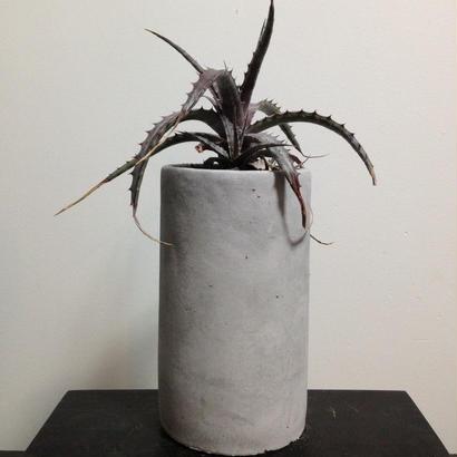 Hechtia SP oaxaca