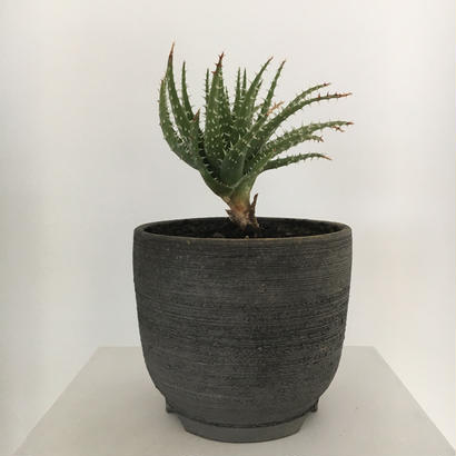 Aloe  hyb (erinacea×Pratensis)