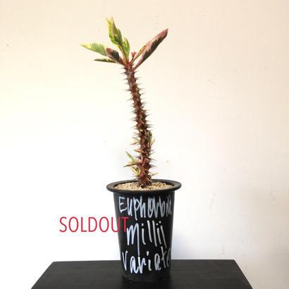 Euphorbia millii variegated