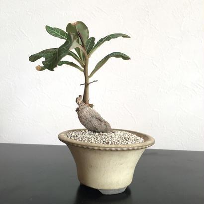 Monadenium pseudoracemosum