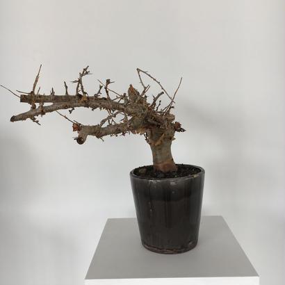 Commiphora kua