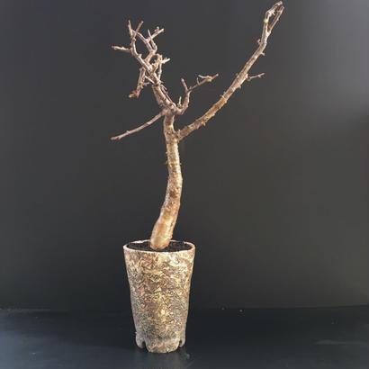 Commiphora rostrata