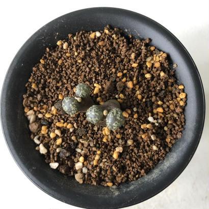 Conophytum pellucidum var. terricolor