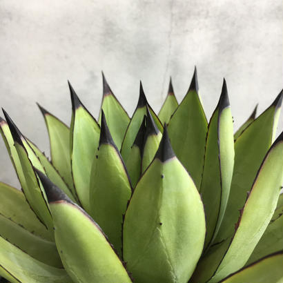 Agave  'Little shark'