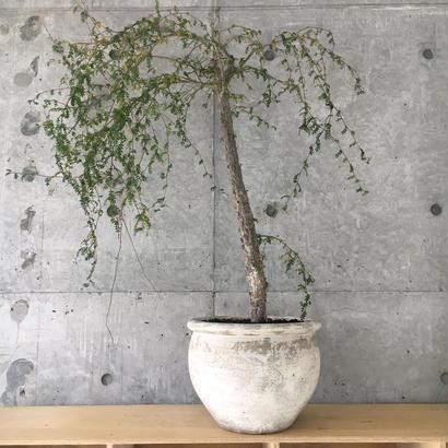 Operculicarya decaryi(seedling)