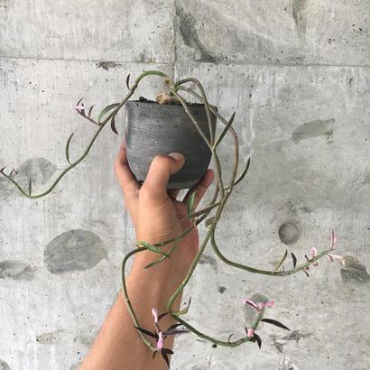 Monadenium montanum var. rubellum.
