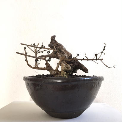 european old olive 'yamadori'