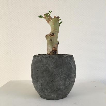 pelargonium crithmiforium