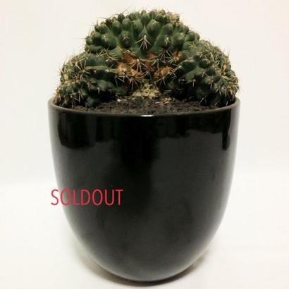 Gymnocalycium baldianum cristata
