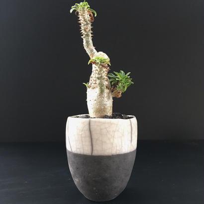 Pachypodium cv.'Tackyi'