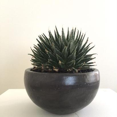 haworthia '典雅'