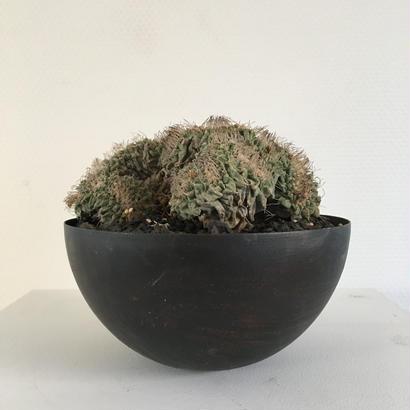 Strombocactus disciformis f.crist.