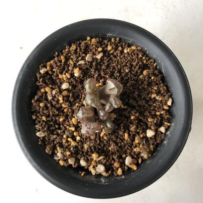 Conophytum pellucidum var. terricolor 'bat wing'