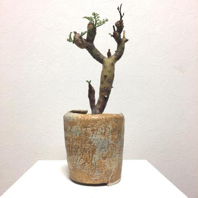 大貫弘由岐 × pelargonium crithmiforium