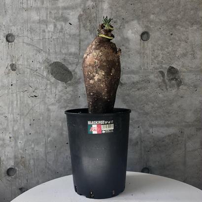Pachypodium succulentum