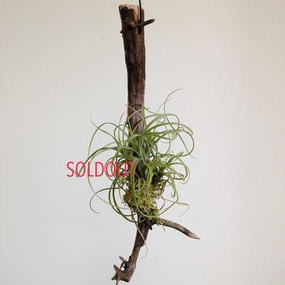 Tillandsia exserta small form