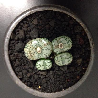 Conophytum ursprungianum