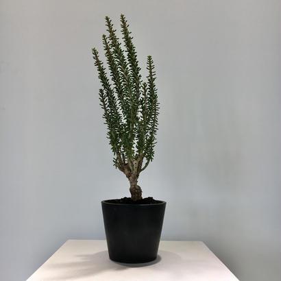 Ceraria namaquensis