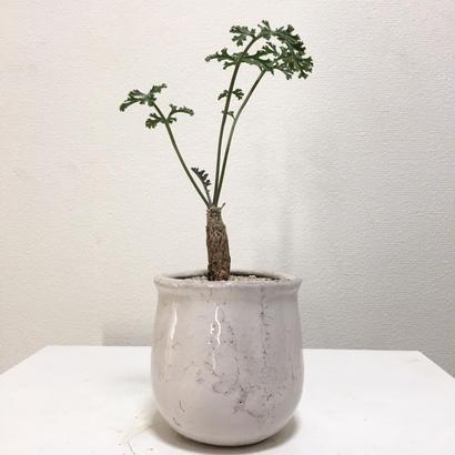 Pelargonium ferulaceum
