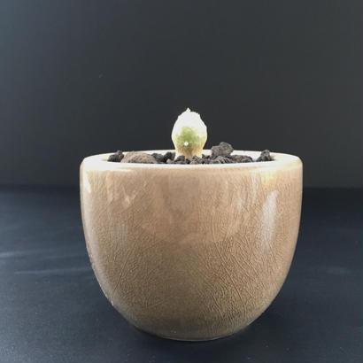 Othonna cychlophylla