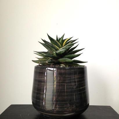 Haworthia limifolia f. variegata