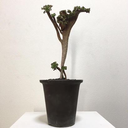 Aeonium arboreum f. crist.